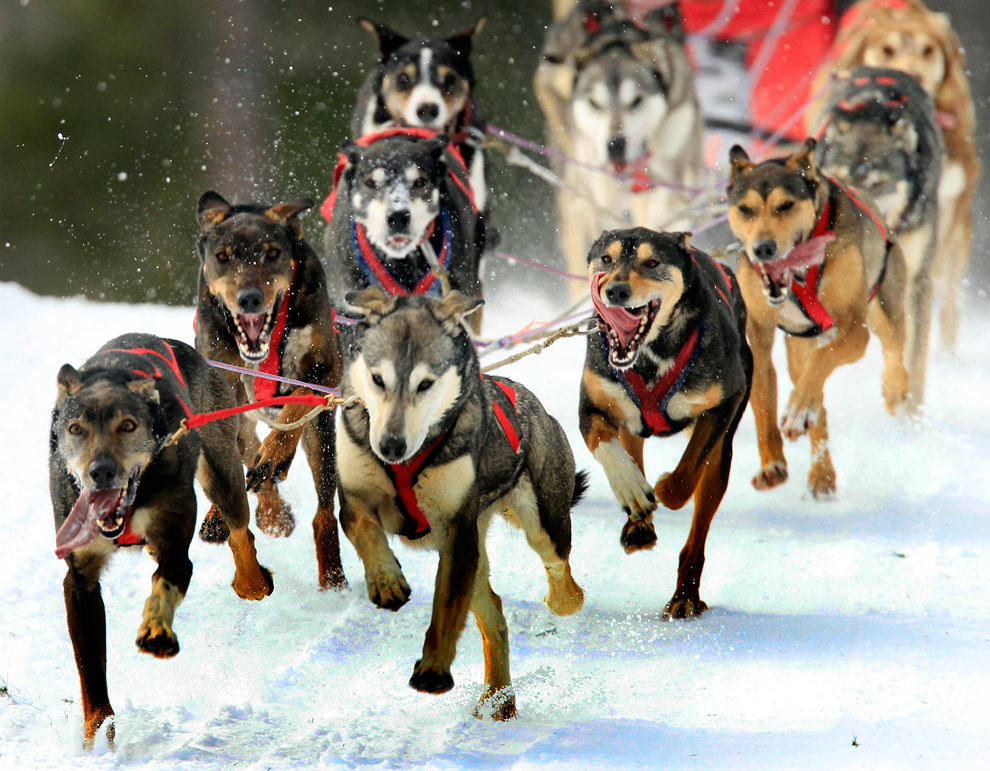 image from Dog Sledding season - coming to a close - The Big Picture